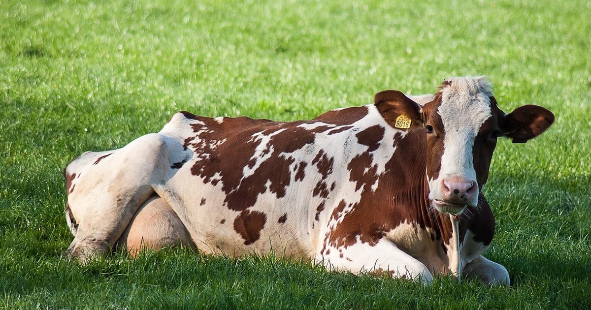 tarissement vache definition