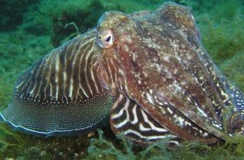 calmar ou calamar