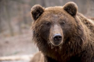 ours des pyrénées réintroduction