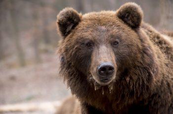 ours pyrénées réintroduction
