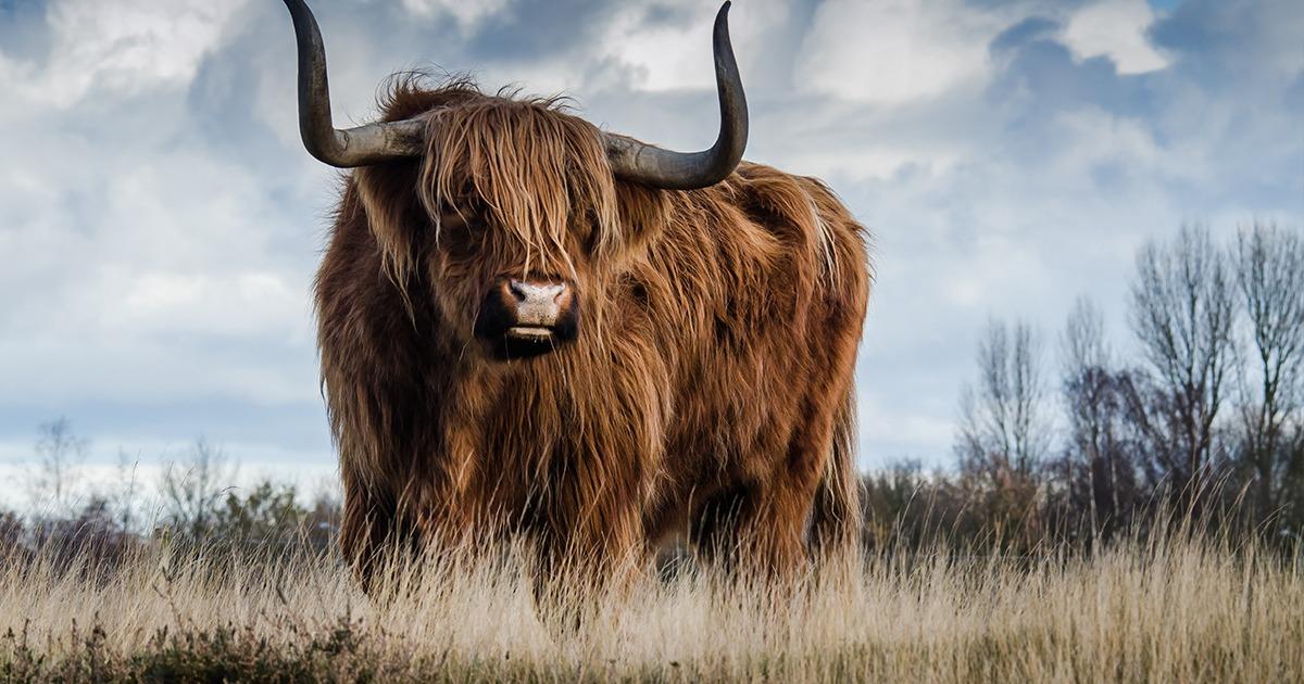 mari de la vache